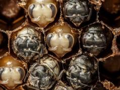 първите 21 дни на пчела