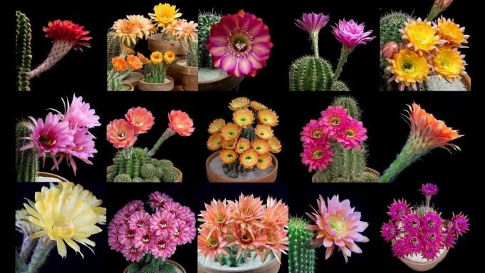 цветове на кактуси